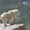 Mountain Goat<br /> Mount Evans,Colorado