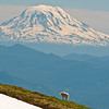 Mt Adams from Banshee Peak in Mt Rainier NP.
