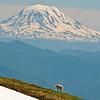 Mt Adams from Banshee Peak in Mt Rainier NP.
