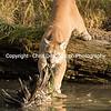 Cougar plaything