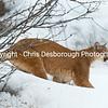 Mountain Lion Prowl
