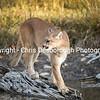 Cougar at dusl