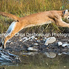 Leaping Cougar