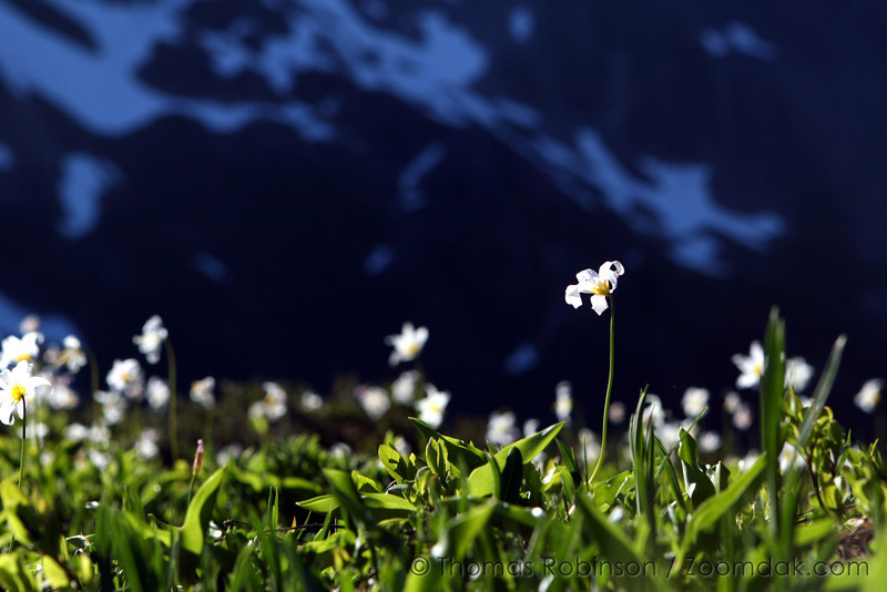 A backlit avalanche lily (Erythronium montanum) reaches out for the last sun rays of the day.