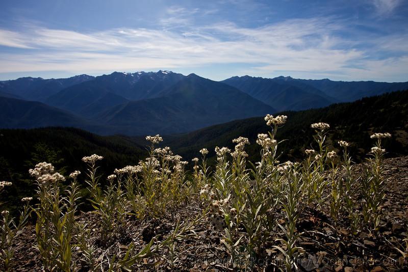 Pearly everlasting flowers push through the shale on Hurricane Ridge.