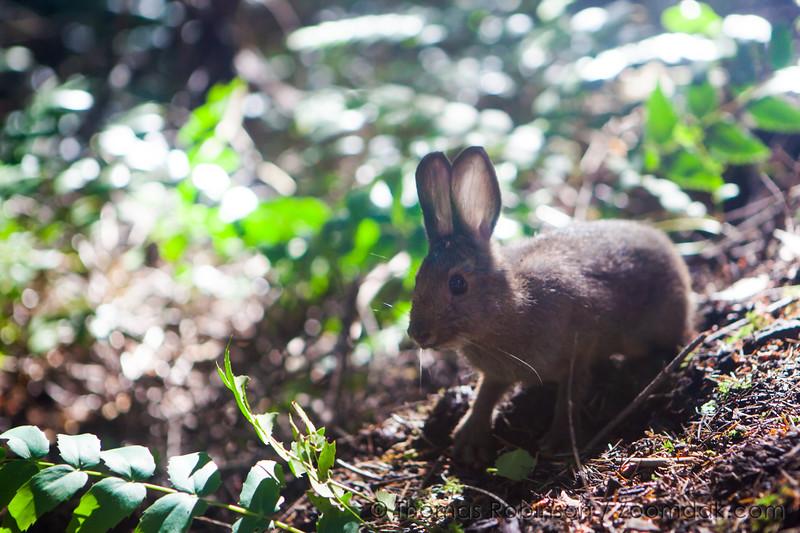 Wild Rabbit on Hamilton Mountain