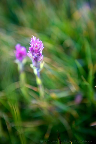 Yosemite Wildflower