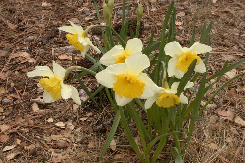 Many daffodils have been planted around the house.