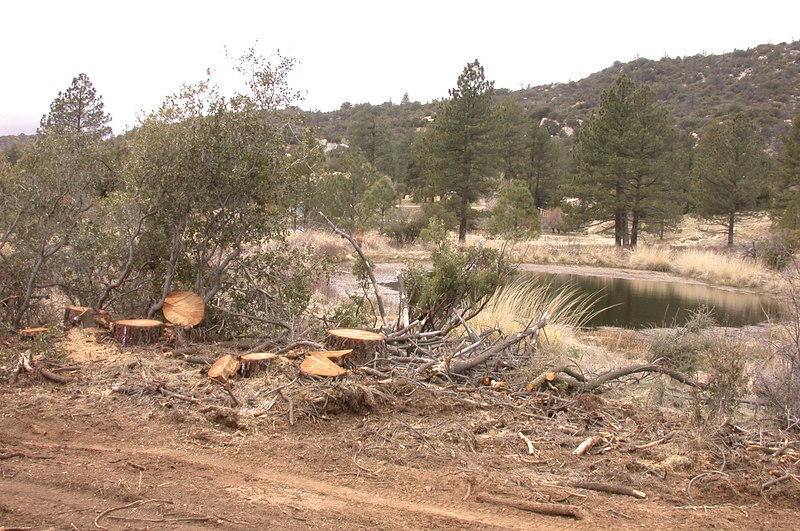 Many pine trees on the ranch have been recently logged to contain a bark bettle infestation.