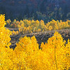 Quaking, Aspen on Temple Fork, Logan Canyon, Utah