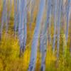 Blurred aspen