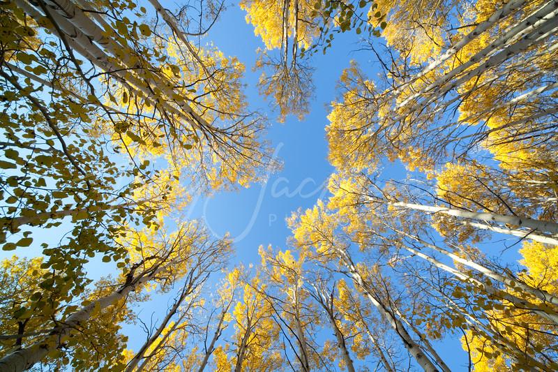 Quaking Aspen in Autumn