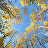 Quaking Aspen in Autumn