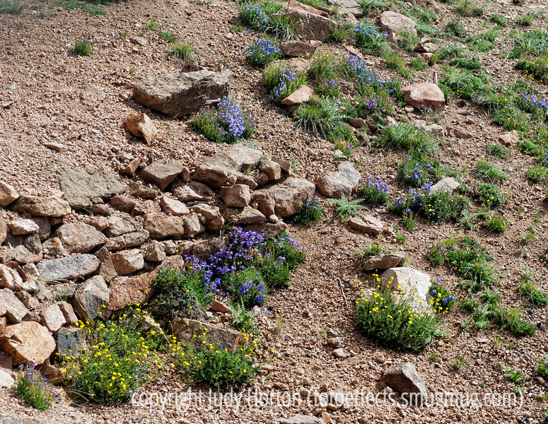 Alpine wildflowers growing near the summit of Pike's Peak (about 14,000 feet); not as sharp as I'd like, since they were tiny and the cog railway car was moving pretty quickly.