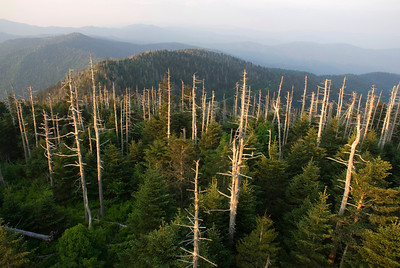 The view from Clingman's Dome, Great Smoky Mountains.  The bare trees suffer from the Balsam Wooly Adelgid, a small insect that has invaded them.