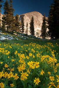 Wildflowers in the Snowy Range
