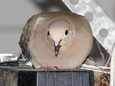 16 June, 4:01 PM. Mother Mourning Dove has returned and built a second nest.