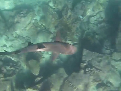 White-tipped reef shark, Galapagos