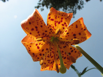 Kelly's Lily