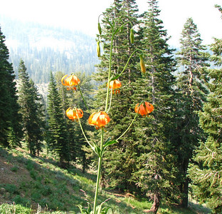 Kelly's Lily - This is my favorite flower in the Cascades.