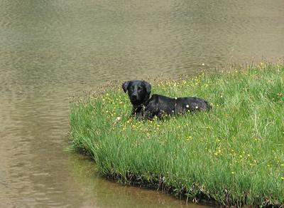 Shea dog at high elevation wet meadow deadfall lake, CA