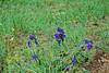 Cliff larkspur (Delphinium menziesii)?