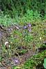 Thread-leaf phacelia (Phacelia linearis).