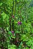 Leafy peavine (Lathyrus polyphyllus).