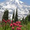 Magenta Paintbrush, Mt. Rainier, Skyline Trail, 7-30-2013