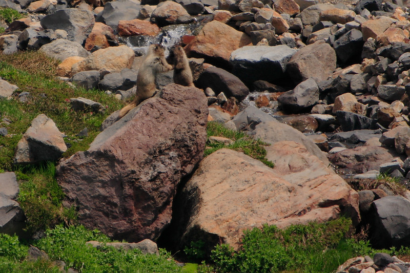 Marmots in fight.