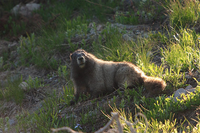 Typical Mt. Rainier habitat... Marmot (CSY: Svišť)