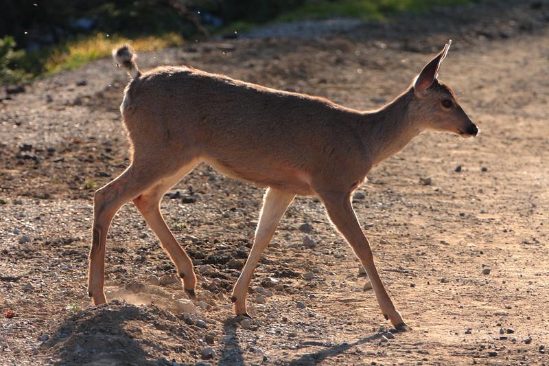 Deer in the contra-light