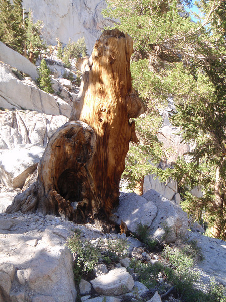 Mt. Whitney - a bear tree!