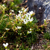 tiny mountain sandwort on Mt. Lincoln shelters from the wind.