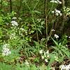 Spreading Hedge Parsley (Torilis arvensis)
