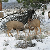 IMG_4077 mule deer Rocky Mountain National Park Colorado<br /> Published in Colorado Outdoors Magazine<br /> Nov/Dec 2011