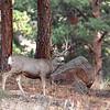 Mule Deer<br /> Moraine Park.<br /> Rocky Mtn Nat'l Park,Colorado
