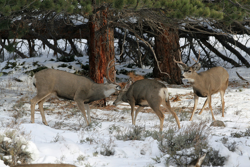 Mule Deer,butting heads.<br /> Rocky Mtn Nat'l Park,Colorado...series