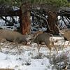 Mule Deer,butting heads.<br /> Rocky Mtn Nat'l Park,Colorado...series