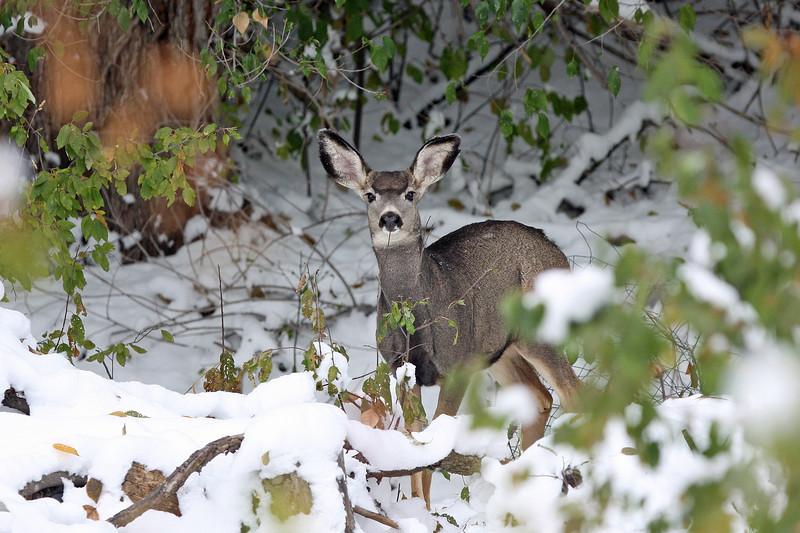 Mule Deer<br /> Lyons,Colorado