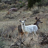 IMG-4099 White Mule Deer Lyons Colorado<br /> Published in<br /> Colorado Outdoors Magazine May/June 2012