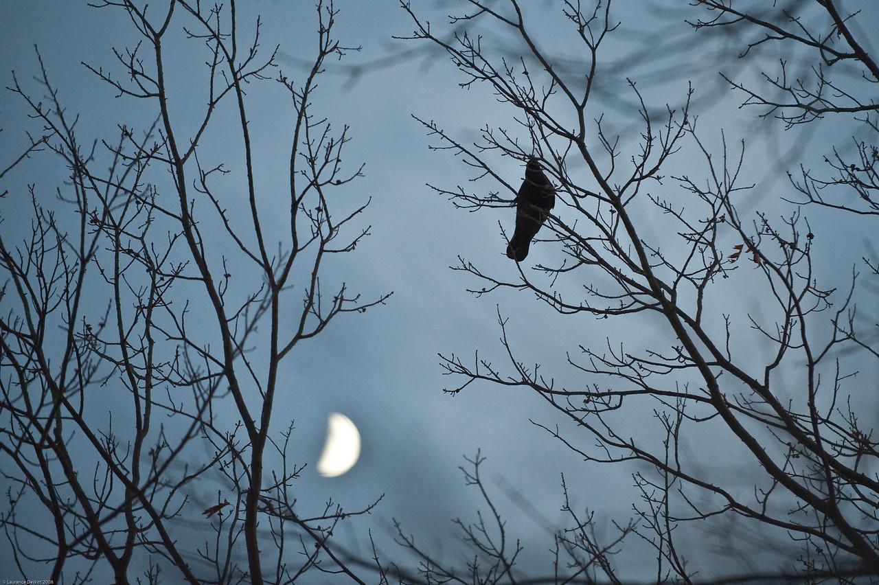 murders of crows 1-4-09-8