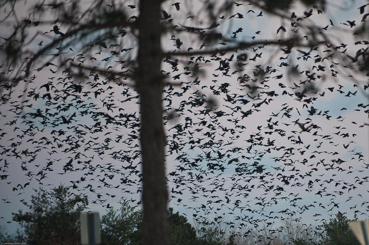 murders of crows 1-4-09-9