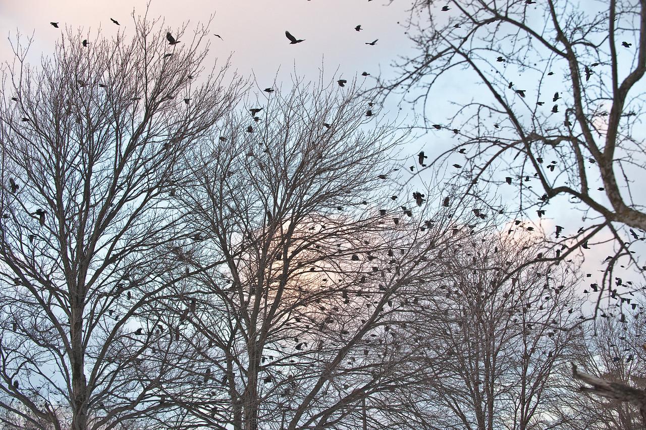 murders of crows 1-4-09-2