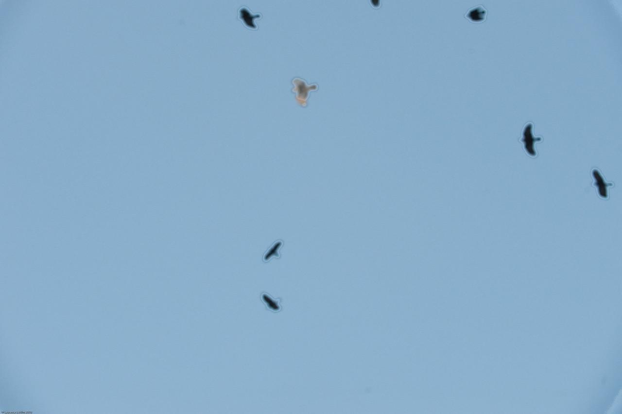 murders of crows 1-4-09-3