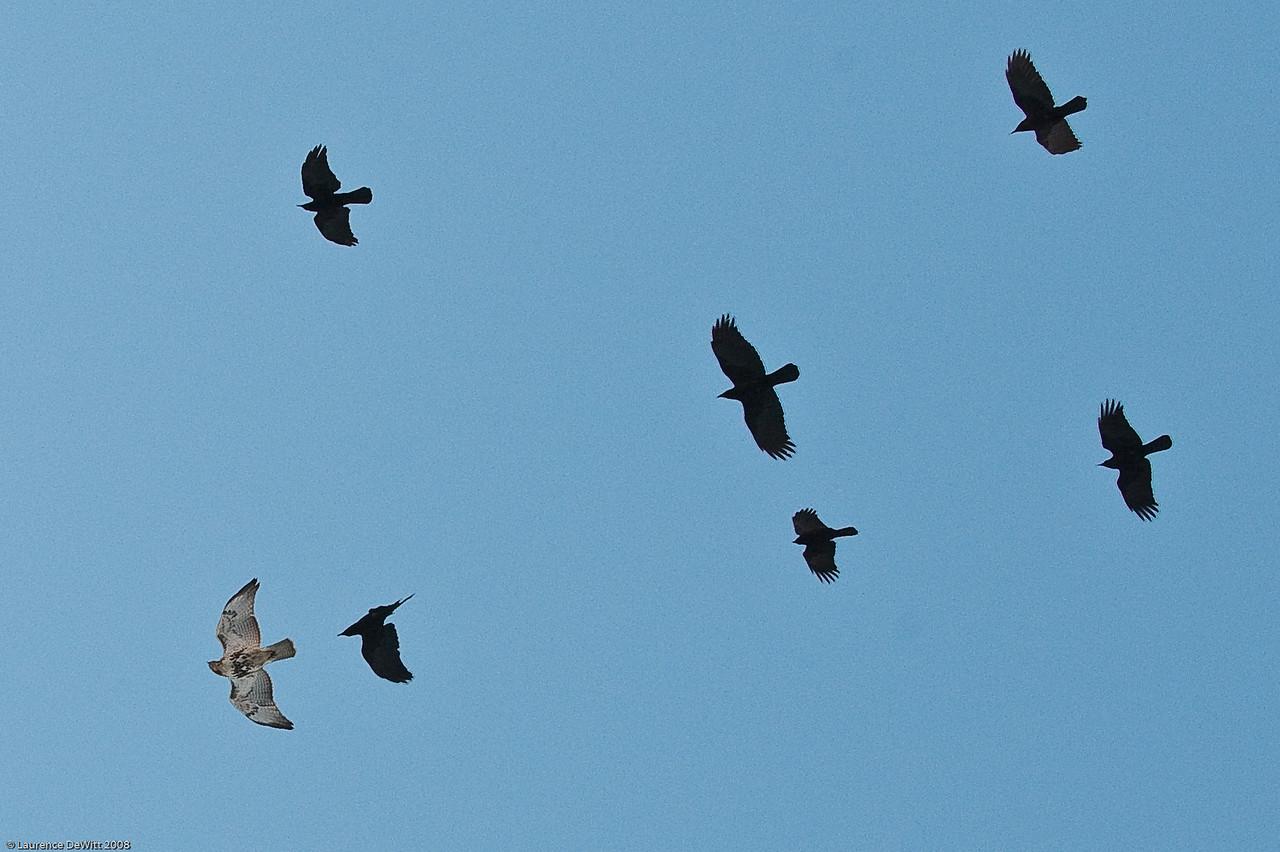 murders of crows 1-4-09-4