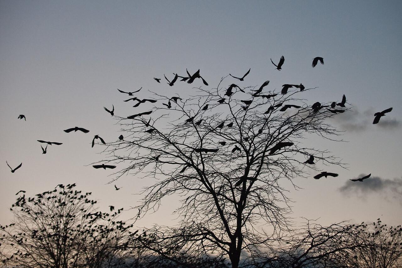 murders of crows 1-4-09-15