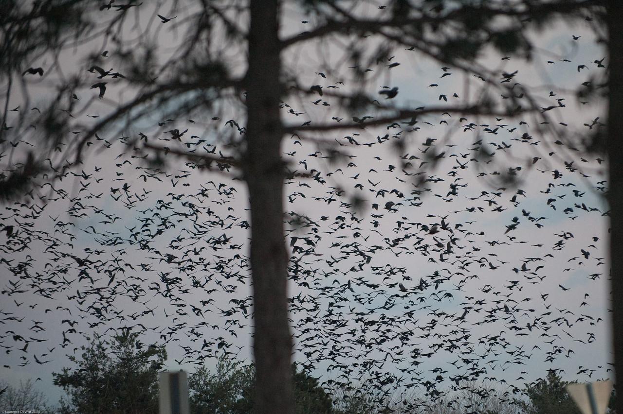 murders of crows 1-4-09-11