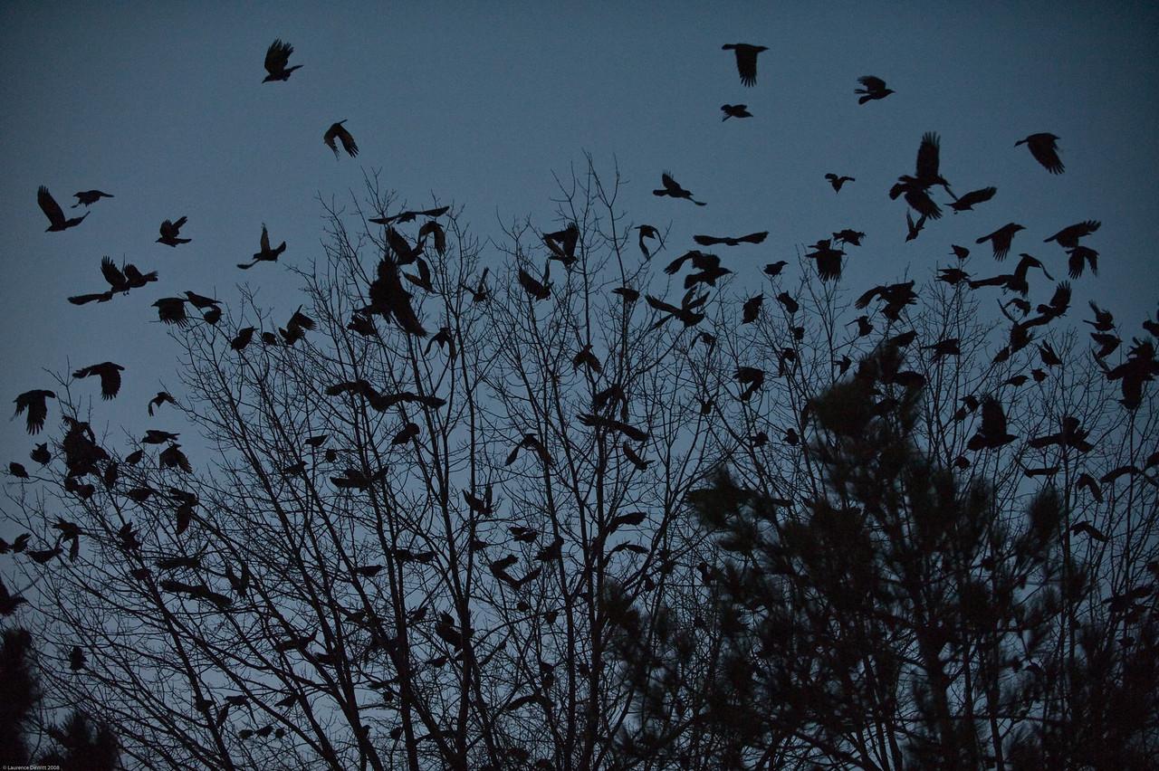 murders of crows 1-4-09-14