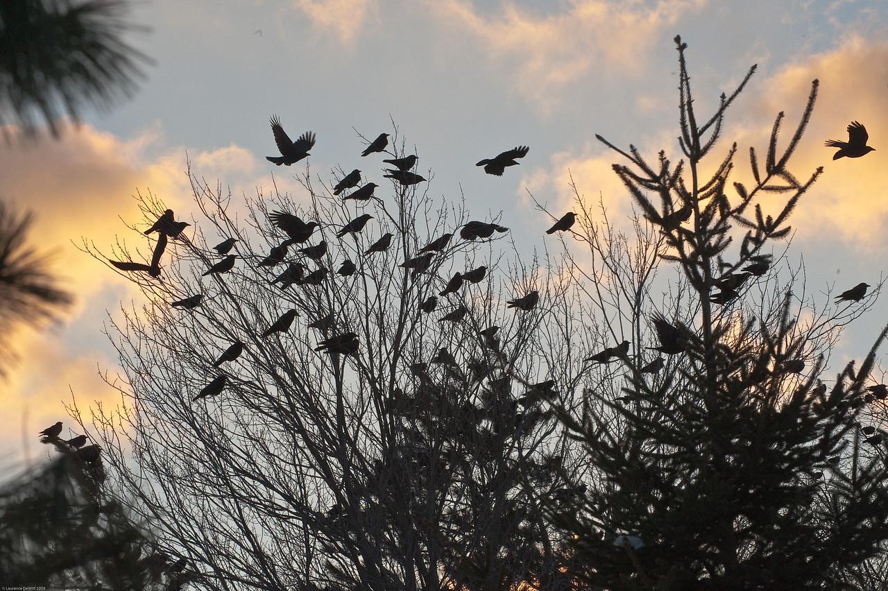 murders of crows 1-4-09-1